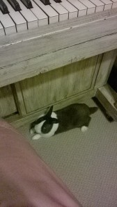 Our pet bunny, Brownie, enjoying his mommy's piano playing.